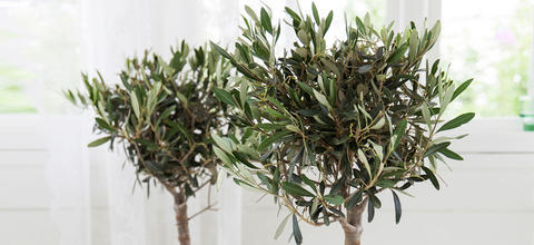 mester-grønn-oliventre